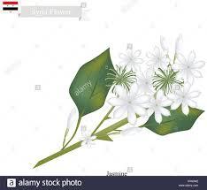 Jasmine Flowers Syria Flower Illustration Of White Jasmine Flowers The National