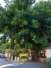 Decorative Trees In India Ficus Tree Care Lovetoknow