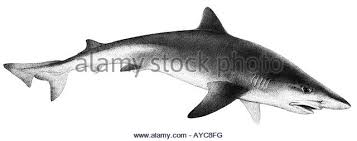 shark drawing stock photos u0026 shark drawing stock images alamy