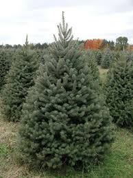 9 best fresh christmas trees images on pinterest branches