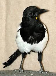 Magpie Birds In Backyards World U0027s Smartest Birds Welcome Wildlife