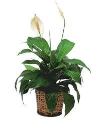 funeral plants sunnyslope floral peace plant spathiphyllum plant