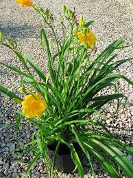 stella d oro daylily daylily stella d oro 2 gallon container 12 99