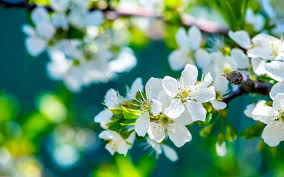 cherry flowers wallpapers spring cherry blossom flowers 4240141 2560x1600 all for desktop