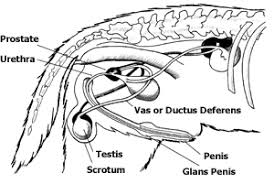 Female Sexual Anatomy Pictures Anatomy And Function Of The Reproductive System In Dogs