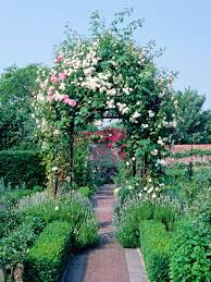 transplanting climbing roses hgtv