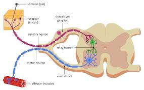 What Is A Reflex Action Example Reflex Arcs Bioninja