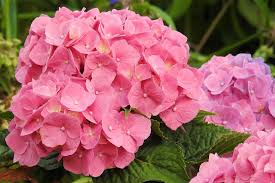 hydrangeas flowers free images flower petal garden pink hydrangea flowers