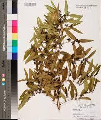 smilax smallii species page apa alabama plant atlas