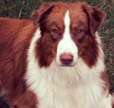 australian shepherd akc best 20 australian shepherd breeders ideas on pinterest mini