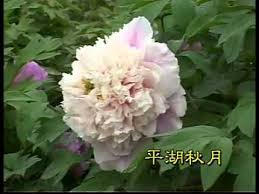 Peony Flowers by Peony Flower From Heze China Peony Flowers Peony Tree Peony