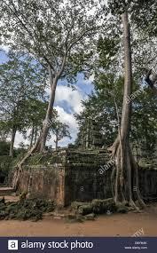 silk cotton trees at ta prohm near siem reap cambodia stock