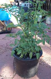 Bag Gardening Vegetables by Growing Vegetables In Containers Colorado Front Range Gardening