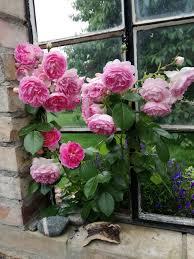 K He Rosa Kaufen Rose Jasmina Rosa Jasmina Günstig Online Kaufen
