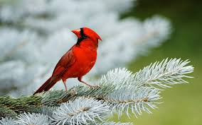 red birds wallpapers ololoshenka pinterest wallpaper and bird