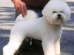 bichon frise puppy 8 weeks jacqueline englert bichon frise puppies for sale