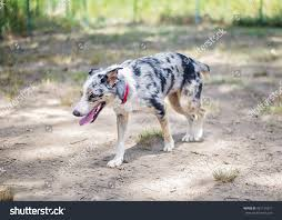 australian shepherd australian cattle dog mix australian shepherd cattle dog mix shelter stock photo 461124217