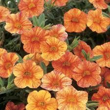 new petunia colors tequila sunrise petunia u0027calibrachoa