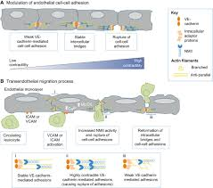 non muscle myosin ii in disease mechanisms and therapeutic
