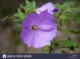 purple flowering australian native plants australian native hibiscus stock photos u0026 australian native