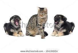 belgian shepherd howling purebred belgian sheepdog malinois cat angry stock photo 109136714