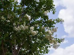 tree with white flowers natchez crape myrtle dallas treeland nursery