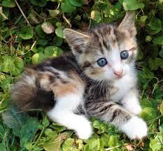 calico kittens kitten cat in hoobly classifieds