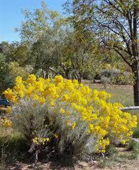 native plants albuquerque trees u0026 shrubs u2013 plants of the southwest