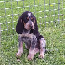 videos of bluetick coonhounds bluetick coonhound puppies river styx scent hounds ckc ukc