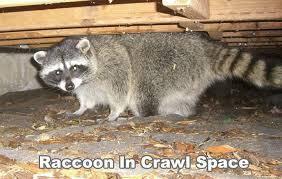 How To Get Rid Of Raccoons In Backyard Raccoon In The Crawl Space Under The House