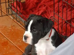 boxer dog training tips 5 tips to potty training your boxer u2013 iheartdogs com