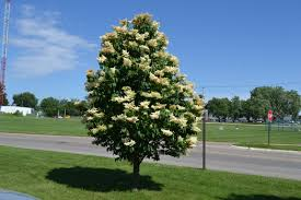 japanese tree lilac is a late blooming ornamental tree