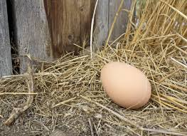 Can I Have Chickens In My Backyard by One Of Our Chickens Is Not Laying In The Nest Box Is This Common