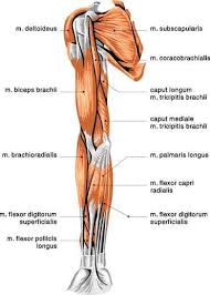 Human Anatomy Muscle 83 Best Muscle Anatomy Images On Pinterest Muscle Anatomy Human