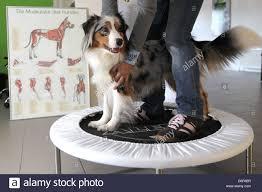 training a australian shepherd wees germany an australian shepherd dog on a trampoline in the