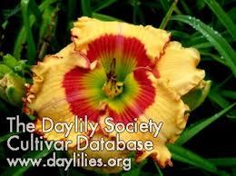 daylilies for sale s daylilies