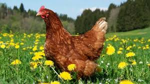 Keeping Free Range Chickens In Your Backyard Free Range Chicken Housing Archives Free Range Chicken Farming