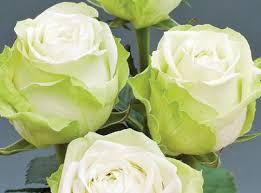 green roses green romantica roses plants