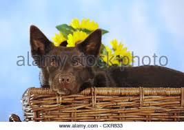Bench Kelpie Puppies Sale Australian Kelpie Chocolate Coloured Lying On A Wooden Bench