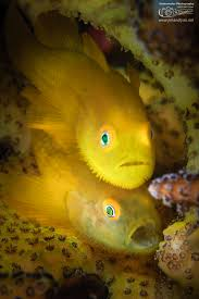 the clown triggerfish has large white spots on its black belly and