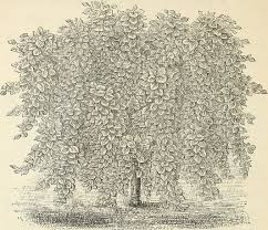 file descriptive catalogue of hardy ornamental trees shrubs