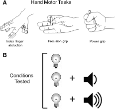 reticulospinal contributions to gross hand function after human