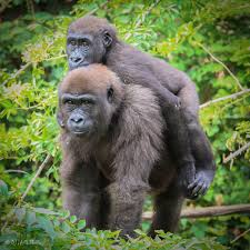 phase one of gorilla world expansion is almost complete at the