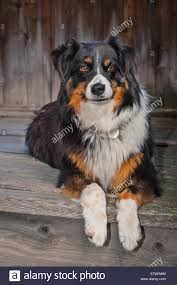 australian shepherd overweight hairy collie stock photos u0026 hairy collie stock images alamy