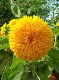 teddy sunflowers teddy helianthus solsikke teddy