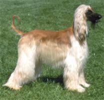 afghan hound lifespan adopt an afghan hound dog breeds petfinder