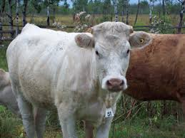 british white facts moo cow pinterest british and cattle