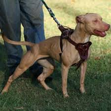 blue american pitbull terrier 82 best real american pit bull terrier apbt images on pinterest