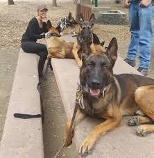 belgian malinois k9 attack k9 picnic dogs pinterest belgian malinois dog