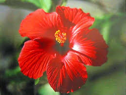 Hawaiian Flowers And Plants - hawaiian plants cuttings roots u0026 seeds suncatchers of hilo